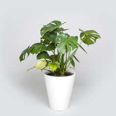 The Case Study Cylinder with Monstera Plant