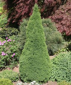 Look what I found on #zulily! Live Picea Glauca 'Jean's Dilly' Plant #zulilyfinds