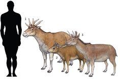 Prehistoric taxonomie | 1.Hexameryx simpsoni 1941...
