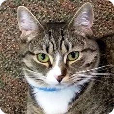 HILLSBORO, OR - Domestic Shorthair. Meet 'KIERA', a cat for adoption…
