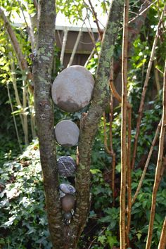 Stones wedged between the brunches of a Kowai tree.