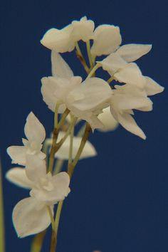 Specklinia leucopyramis - Flickr - Photo Sharing!