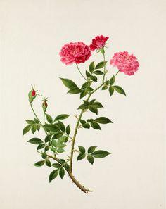 Rosa chinensis 'Old Blush' -- Illustrations -- Flowers -- RHS Prints