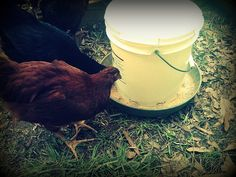 DIY Chicken Feeder