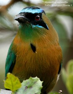 Blue-crowned Motmot (Momotus momota) - a colorful near-passerine bird found in forests and woodlands of eastern Mexico, Central America, northern and central South America, and Trinidad and Tobago.