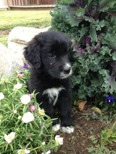 Faye's also got that white in the same spots. Black Dogs, Black Lab Puppies, Cute Puppies, Like Animals, Animals And Pets, Black Golden Retriever, Black Lab Mix, Flat Coated Retriever, Collie Mix