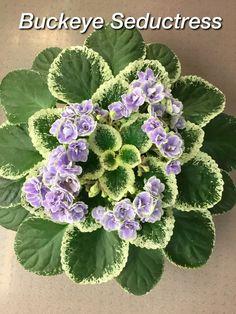 Miniature Plants, Miniature Fairy Gardens, Butterfly Mosaic, Magic Fountain, Loom Crochet, Dishcloth Crochet, Violet Plant, Saintpaulia, Sweet Violets