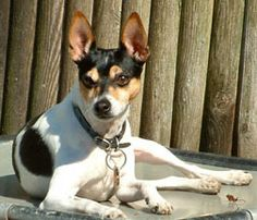 Rat terrier. I own one presently and he is a joy.