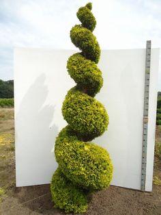 thuja occidentalis smaragd spirale 250 300cm garden projects pinterest gartenpflanzen. Black Bedroom Furniture Sets. Home Design Ideas