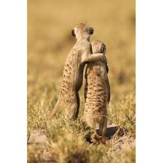 """A meerkat puts his arm around another in Makgadikadi Salt Pan, Botswana. The adult meerkat seems to be saying """"One day, son, all this will be yours"""" as the pair scann the horizon together. The moment was caught on camera by caterer Thomas Retterath, 48, from, Nurburg, Germany.  Picture: THOMAS RETTERATH / BARCROFT MEDIA"""