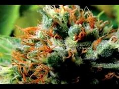 ▶ What If Cannabinoids in Cannabis Cured Cancer & Other Diseases? - YouTube