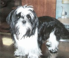 Cash is an adoptable Shih Tzu Dog in Tuscola, IL. Cash has a gentle soul. He is almost blind and would like a buddy dog to help show him around....