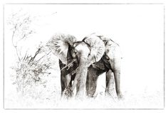 African Wildlife prints by Dave Hamman. Fine art images for sale on fine art canvas or fine art paper. Wildlife image collection of great images African Animals, African Elephant, Wildlife Photography, Animal Photography, Charcoal Art, Wildlife Art, Love Pictures, Art Images, Canvas Art