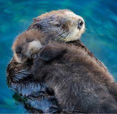 Sea otter mom and pup in the Great Tide Pool Deck, Monterey Bay Aquarium, CA Brave Animals, Animals And Pets, Funny Animals, Cute Animals, Otters Cute, Baby Otters, Baby Sloth, Biber Tier, Otter Pup
