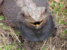 The Bearded Dragon Diet - 7 Top Foods - Exotic Bearded Dragons Eastern Bearded Dragon, Bearded Dragon Diet, Animals, Animales, Animaux, Animal, Animais