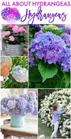 Hydrangea Care Discover All About Hydrangeas: How to Plant Preserve and Care for Hydrangeas Do you love hydrangeas? This post is for you! You will find lots of ideas Hydrangea Potted, Hydrangea Varieties, Limelight Hydrangea, Hydrangea Care, Pruning Hydrangeas, Hydrangea Seeds, Hydrangea Bloom, Endless Summer Hydrangea, Comment Planter