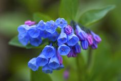 I once saw a field of Virginia Bluebells that took my breath away. Perhaps it's time for a blue garden. There are enough blues that should work in my yard. Most Beautiful Flowers, Pretty Flowers, Blue Flowers, Beautiful Gardens, Virginia Bluebells, My Secret Garden, Seed Starting, Types Of Flowers, Garden Plants