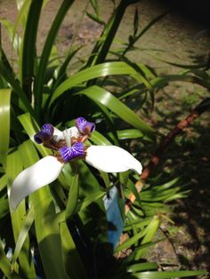 Walking Iris, an amazing addition to any garden