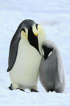 Emperor Penguin (Aptenodytes forsteri) parent with chick, Snow Hill Island, Antarctica Nature Animals, Animals And Pets, Baby Animals, Cute Animals, March Of The Penguins, Baby Penguins, King Penguin, Penguin Love, Beautiful Birds