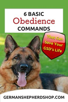 An obedient dog is a happy dog that knows its boundaries and whose owners have invested time and energy into basic training. Get here the tips about Obedience dog training. German Shepherd Training, German Shepherd Puppies, Shepherd Dogs, German Shepherds, Dangerous Dogs, Easiest Dogs To Train, Dog Anxiety, Poor Dog, Most Popular Dog Breeds