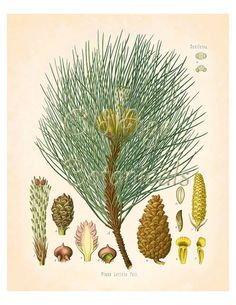 KOHLER Botanical Print 8x10 Vintage Art Corsican Pine Tree Large Shoots Cones Antique Plate Wall Decor to Frame BF0711