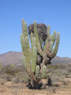 Description Pachycereus pringlei with osprey nest.JPG SEO and Internet Marketing is the best combination!