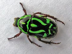 Green Fiddler Beetle (Chafer Beetle), Eupoecila australasiae - shiny hard body with green and black markings in a symmetrical pattern Vans Vw, Insect Photos, Cairns Australia, Cool Bugs, Airlie Beach, Beautiful Bugs, Insect Art, Bugs And Insects, Animal Design