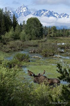 Moose in the Tetons Beautiful Creatures, Animals Beautiful, Moose Pictures, Moose Pics, Moose Hunting, Deer Family, Majestic Animals, Mundo Animal, All Gods Creatures
