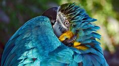 "~ Photo taken by Richard Masters for the Smithsonian Annual Photo Contest.""Absolute Head-Scratcher"" is an image of a blue macaw in Quebec City, Cananda on Ara Bleu, Smithsonian Photo Contest, Cool Pictures, Cool Photos, Amazing Photos, Blue Macaw, Concours Photo, Belleza Natural, Natural World"