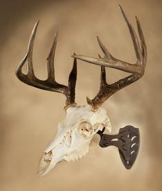 Skull Hooker European Skull Mount Bracket Robust Brown Whitetail Deer Skull | eBay
