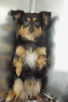 RINGO <3 (RESCUE ONLY) Podengo Portugueso & Spaniel Mix • Adult • Male • Small. Wasco Animal Shelter Wasco, CA. Male, Pom/Spaniel mix, tri-colored. Currently very scared of new surroundings.. fearful. Came in as a stray. Approx. 1-2 yrs.