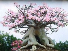 It has a lot of admirers due to its exotic, eye-catching looks: this genus has loads of spectacular bright flowers and a very thick caudex and thus is often used as a bonsai tree. Description from tipsplants.com. I searched for this on bing.com/images