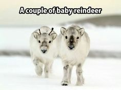 So cute, like Sven from Frozen!