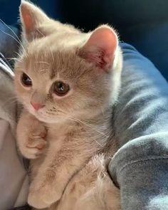 Cute Kittens, Cute Baby Cats, Cute Little Animals, Cute Funny Animals, Funny Cats, Ragdoll Kittens, Beautiful Cats, Animals Beautiful, Beautiful Family
