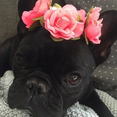 'Mila', the French Bulldog Princess in a Rose Tiara.