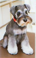 Hairstyles For Your Mini Schnauzer
