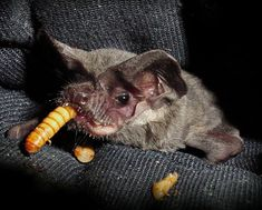 This is Roadie who survived all odds and lived.  He has one wing and will live out his days at Bat World.  He was a bat who never gave up hope.  You can read about his story on Bat World site.