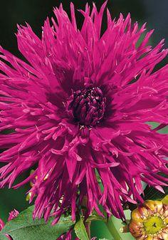 Dahlia 'Apache Blue' Flowers Pics, Flowers For You, Flower Pictures, Love Flowers, Herbaceous Perennials, Dahlia Flower, Drama Queens, Day Lilies, Zinnias