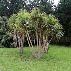 Graines Cordyline Australis (Dracaena indivisa)