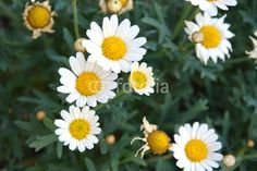 growing camomile