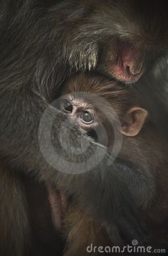 © Pavalache Stelian | Dreamstime.com - A baby monkey protected by the mother