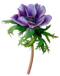 Anemone Flower Painting Painting an anemone has been a Illustration Botanique, Illustration Blume, Botanical Illustration, Botanical Flowers, Botanical Prints, Anemone Flower, Flower Art, Art Floral, Watercolor Flowers