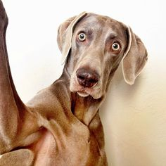 Harlow the Weimaraner's Selfies