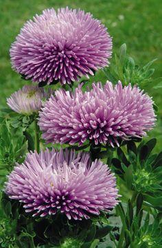 Callistephus chinensis Gala Lavender
