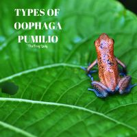 Oophaga pumilio -Morphs within the Hobby – The Frog Lady Frog Facts, Poison Dart Frogs, Red Beach, World Photography, Cover Photos, Reptiles, Cute Babies, Lady, Wordpress