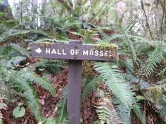 The Olympic Peninsula seems a little surreal. The Hall of Mosses trail will make you feel like you've wandered into the pages of a storybook. Puyallup Washington, Washington State, Washington Hiking, Olympic National Forest, National Parks, Need A Vacation, Vacation Ideas, Old Trees, Summer Bucket Lists