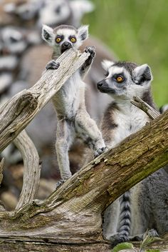 ~~Baby and other lemurs posing by Tambako the Jaguar~~