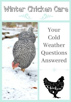 Chickens are easy to care for in the winter, they just require a few extra steps to be happy and healthy in cold weather.