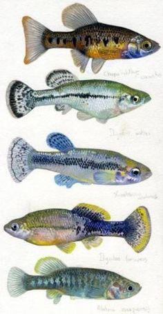 peces Ilustraciones