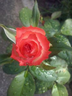 Rosa labios de mujer 20-06-15